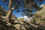 Pines in the Restonica Valley